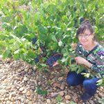 DOトロはポリフェノール豊富な黒ぶどうが有名。凝縮感の赤ワインが出来る 畑を見ると樹齢が30~100年というものもあるが、栽培は株仕立てで一株は、2x2.5m5平方メートルとゆったり使用。